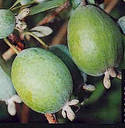 Feijoa or pineapple guava