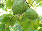 cherimoya on the tree